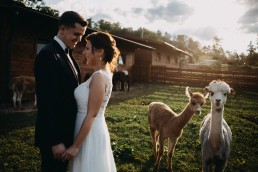 plener ślubny z alpakami