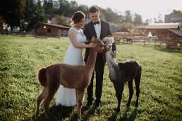 zdjęcia ślubne z alpakami