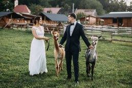 plener ślubny z lamami